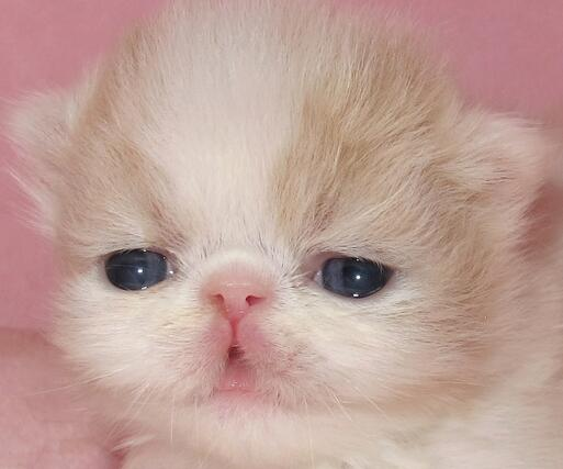 波斯猫尾巴掉毛了怎么办?预防波斯猫掉毛有妙招!